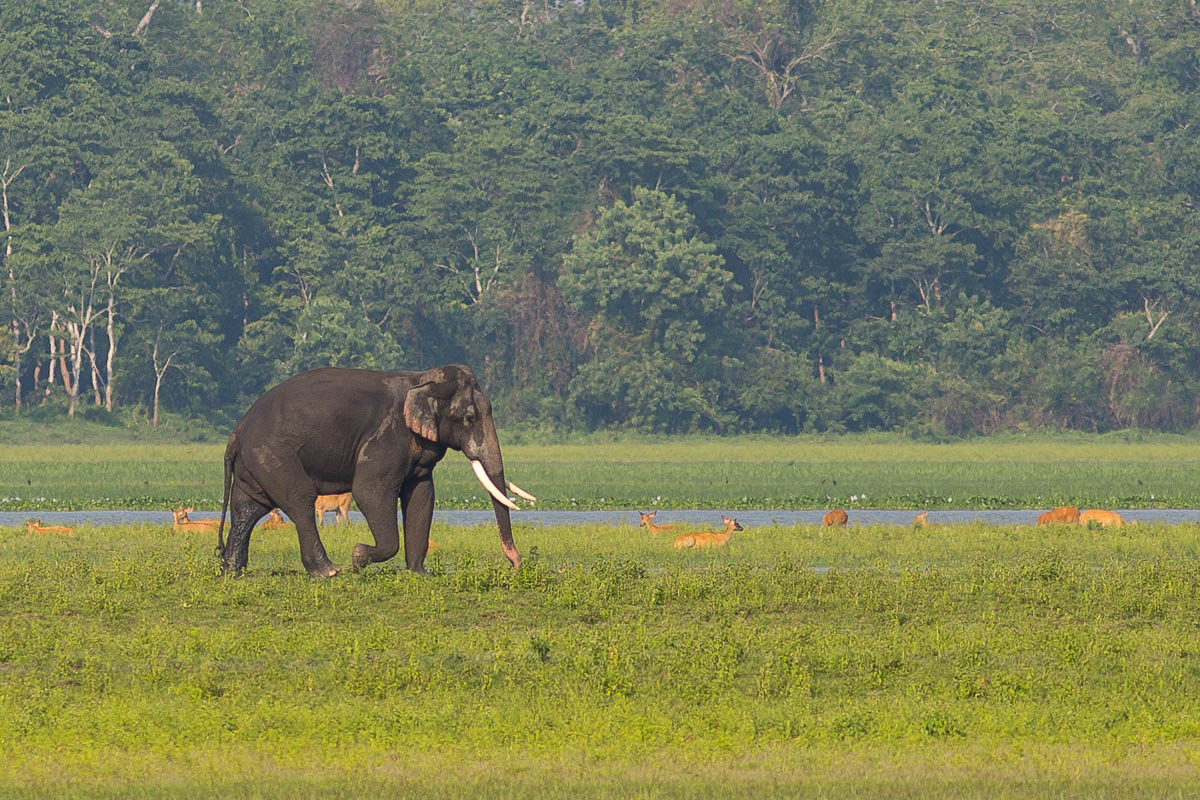 Asian Elephant with Swamp Deer