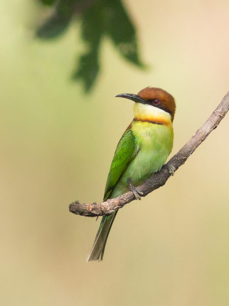 Chestnut-headed Bee-eater (Merops leschenaulti) Kaziranga