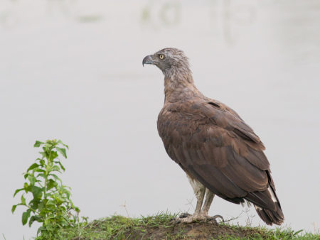 Gray-headed Fish Eagle (Ichthyophaga ichthyaetus) Kaziranga