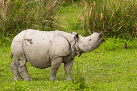Baby Indian Rhino Flehmen