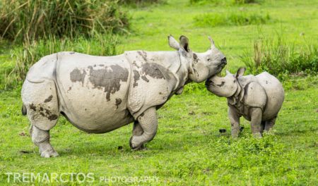 Indian Rhino (Rhinoceros unicornis) mother baby
