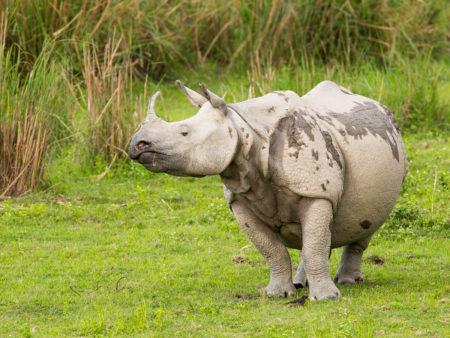 Indian Rhino (Rhinoceros unicornis)