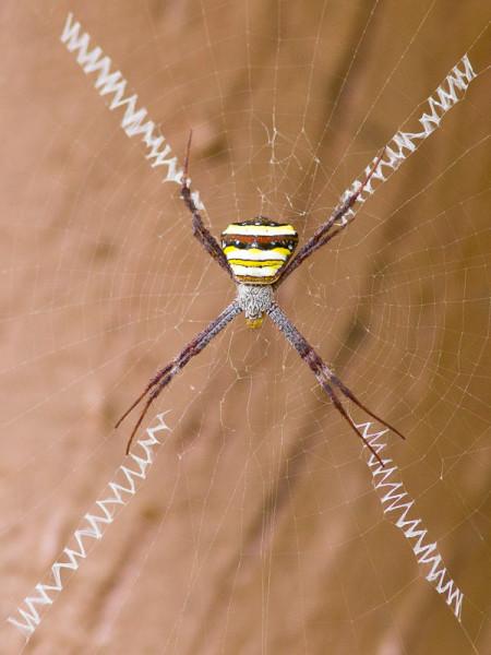 Signature Spider (Argiope anasuja) Kaziranga