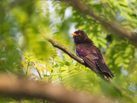 Violet Cuckoo (Chrysococcyx xanthorhynchus) Kaziranga
