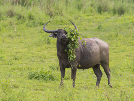 Wild Water Buffalo (Bubalus arnee) Silly
