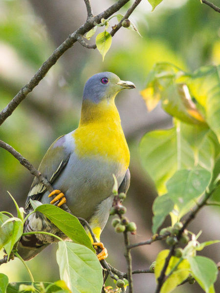 Yellow-footed Green Pigeon Treron phoenicoptera