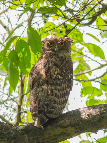 Brown Fish-owl Ketupa zeylonensis