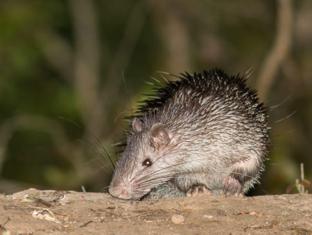 Asian Brush-tailed Porcupine (Atherurus macrourus)