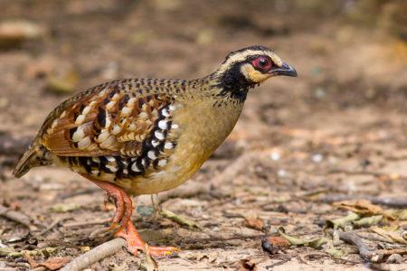 Bar-backed Partridge (Arborophila brunneopectus)