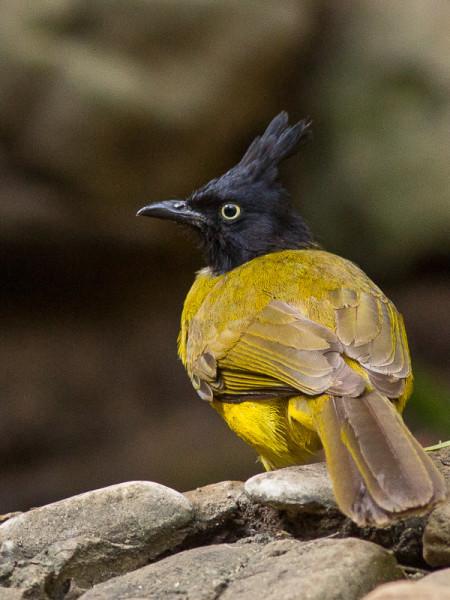 Black-crested Bulbul (Pycnonotus flaviventris)