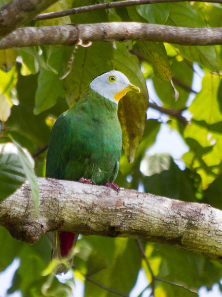 Black-naped Fruit Dove (Ptilinopus melanospilus)