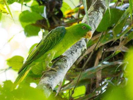 Blue-backed Parrot (Tanygnathus sumatranus)