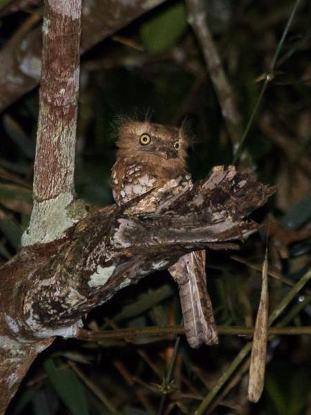Blyth's Frogmouth (Batrachostomus affinis)