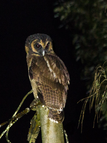 Brown Wood-owl (Strix leptogrammica)