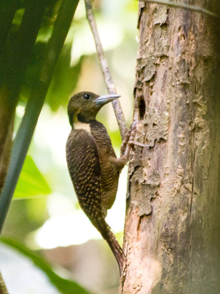 Buff-necked Woodpecker (Meiglyptes tukki)