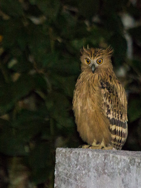 Buffy Fish Owl (Bubo ketupu)
