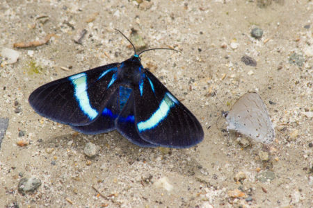 Butterflies Lore Lindu