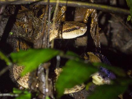 Chocoan Bushmaster (Lachesis acrochorda)