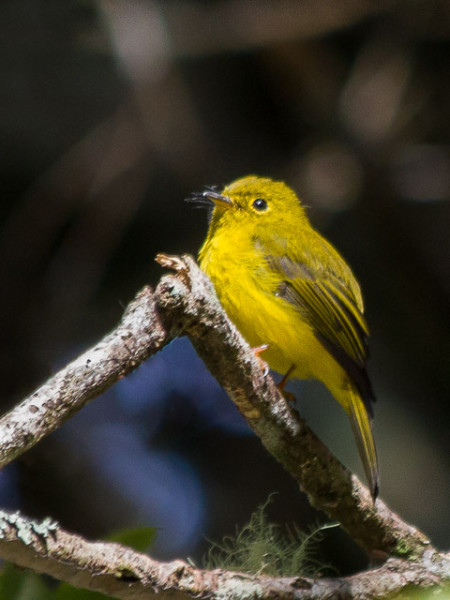 Citrine Canary-flycatcher (Culicicapa helianthea)