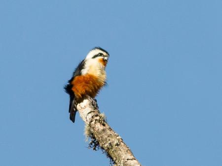 Collared Falconet (Microhierax caerulescens)