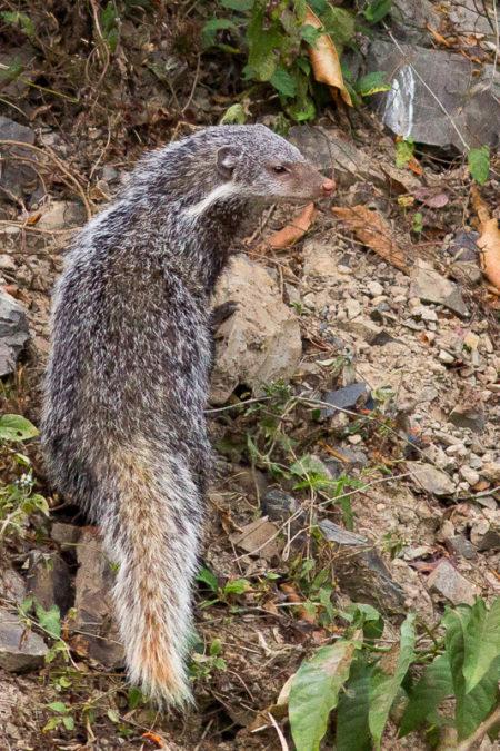 Crab-eating Mongoose (Herpestes urva)