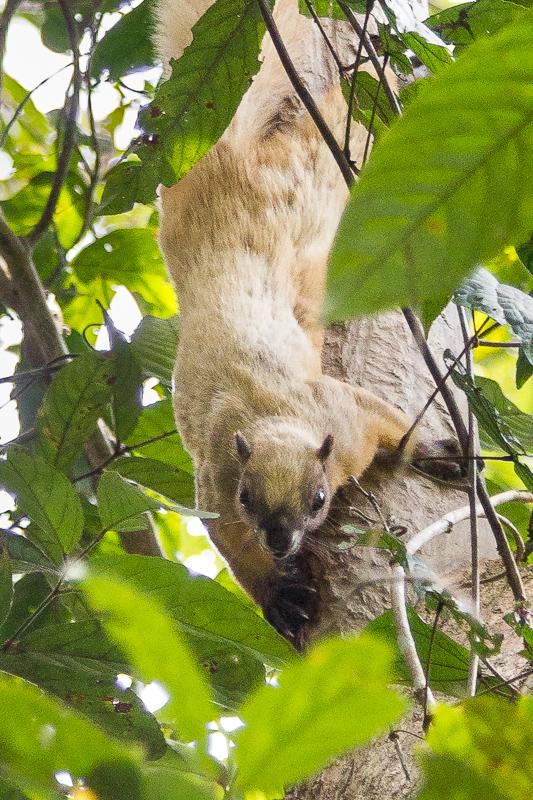 Cream-colored Giant Squirrel