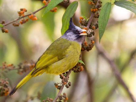 Crested Finchbill (Spizixos canifrons)