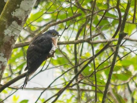 Dark Hawk-cuckoo (Hierococcyx bocki)
