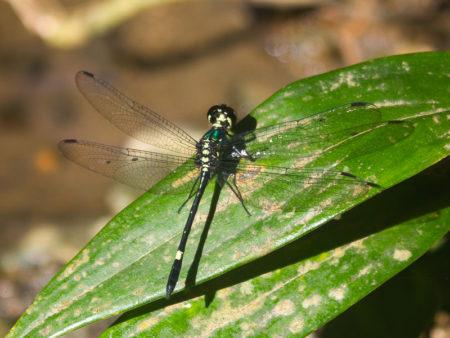 Halmahera Dragonfly