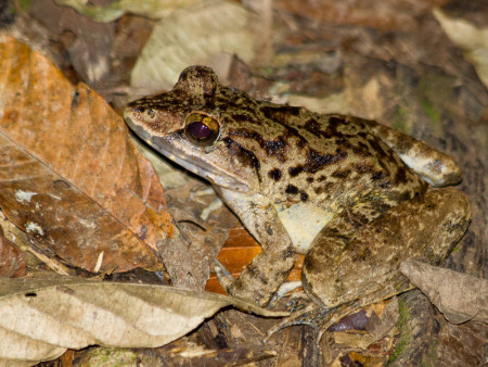 Malayan Giant Frog (Limnonectes blythii)