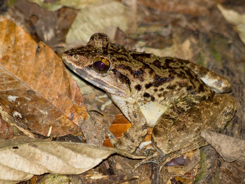 Malayan Giant Frog