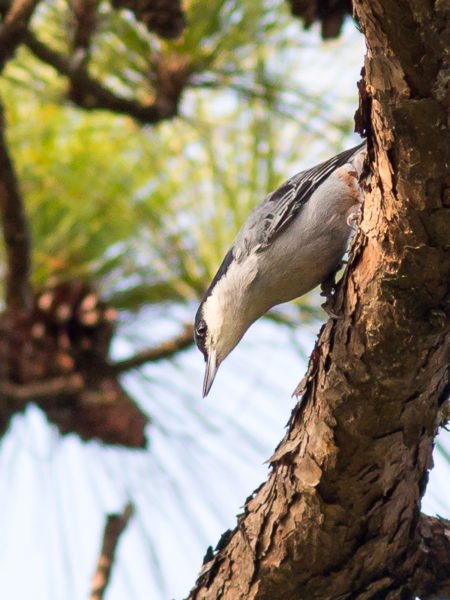 Giant Nuthatch (Sitta magna)