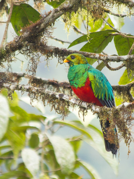 Golden-headed Quetzal (Pharomachrus auriceps)