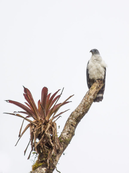 Gray-headed Kite (Leptodon cayanensis)