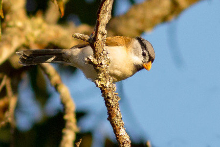 Gray-headed Parrotbill (Psittiparus gularis)
