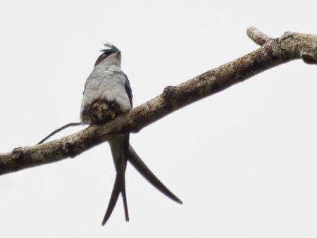 Gray-rumped Treeswift (Hemiprocne longipennis)