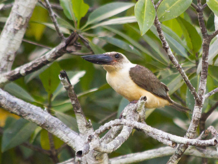 Great-billed Kingfisher (Pelargopsis melanorhyncha)