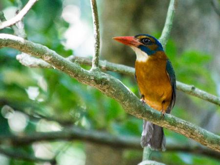Green-backed Kingfisher (Actenoides monachus)