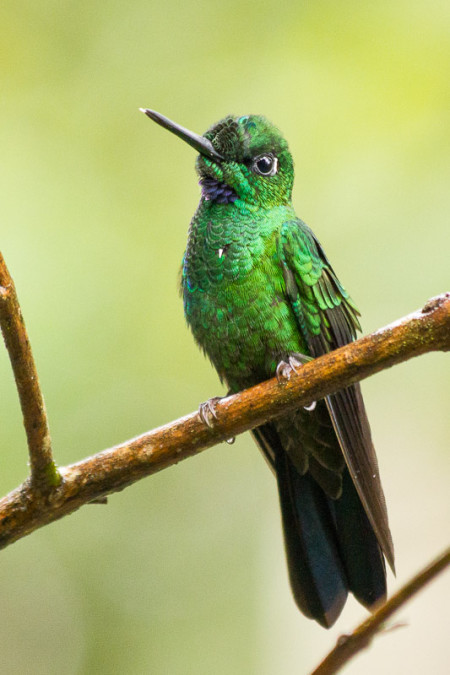 Green-crowned Brilliant (Heliodoxa jacula)