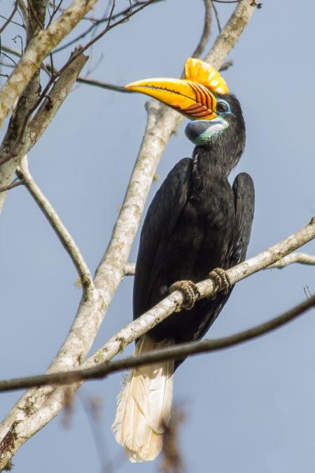 Female Knobbed Hornbill (Aceros cassidix)