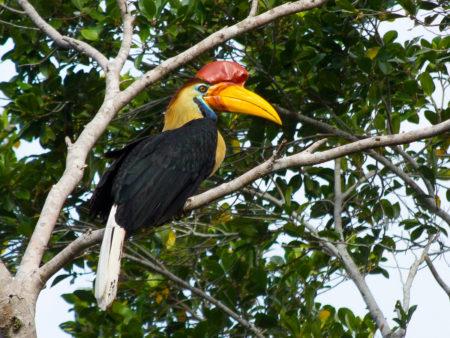 Male Knobbed Hornbill (Aceros cassidix)