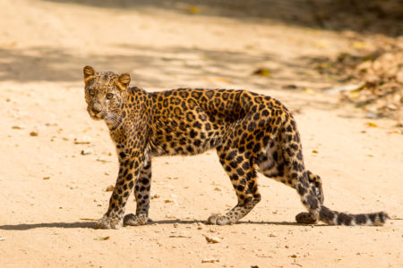 Indochinese Leopard (Panthera pardus delacouri)