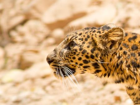 Indochinese Leopard (Panthera pardus delacouri)