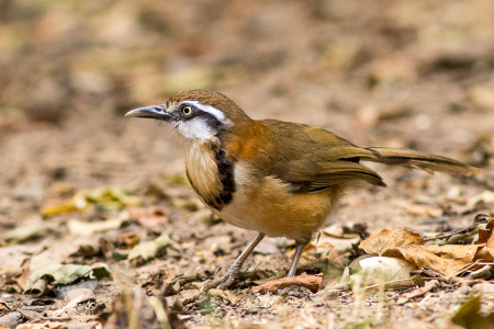 Lesser Necklaced Laughingthrush (Garrulax monileger)