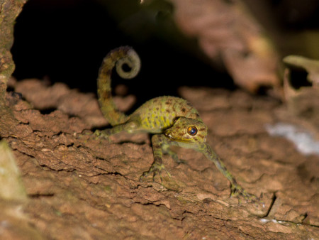 Rock Gecko (Cnemaspis sp)