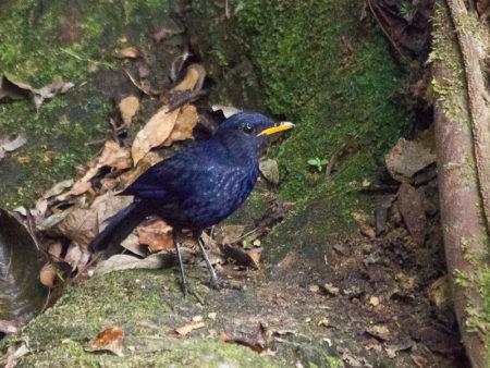 Malayan Whistling-thrush (Myophonus robinsoni)
