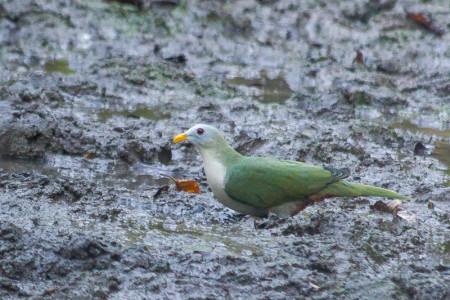 Maroon-chinned Fruit-dove (Ptilinopus subgularis)