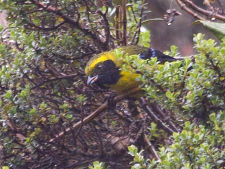 Masked Mountain-tanager (Buthraupis wetmorei)