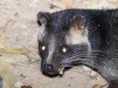 Masked Palm Civet (Paguma larvata)