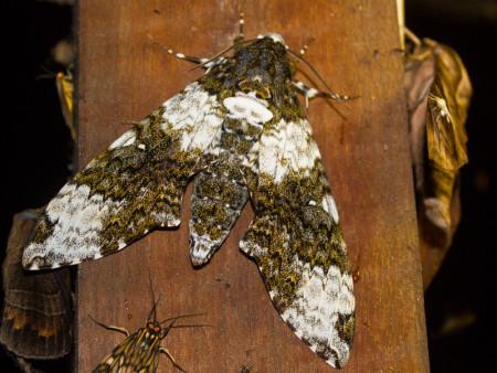 Mashpi Moth